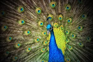 https://ilelumiere.fr/wp-content/uploads/2015/12/peacock-50515-1-300x200.jpg