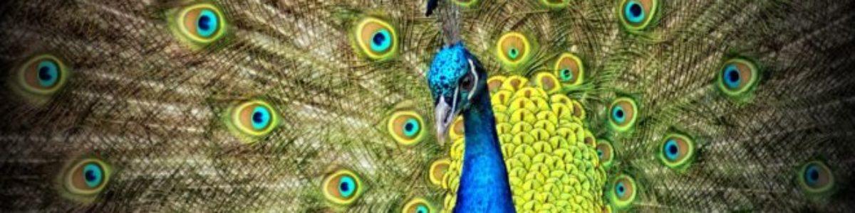 https://ilelumiere.fr/wp-content/uploads/2015/12/peacock-50515-1-e1529477276785-1200x300.jpg