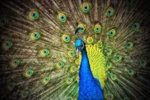 https://ilelumiere.fr/wp-content/uploads/2015/12/peacock-50515-1-e1529477276785-300x200.jpg